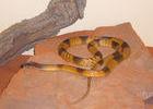... und die Western Brown Snake.